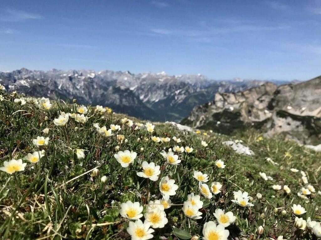 Achensee Berge im Frühling - so schön blühen die Blumen am Gipfel der Haidachstellwand